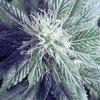 o g kush medicinal marijuana
