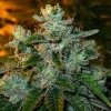 trainwreck medicinal marijuana