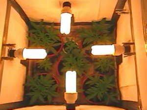 cfl lights indoor marijuana