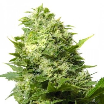 cheese cannabis seeds