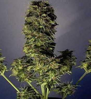 Loweryder autoflowering seeds