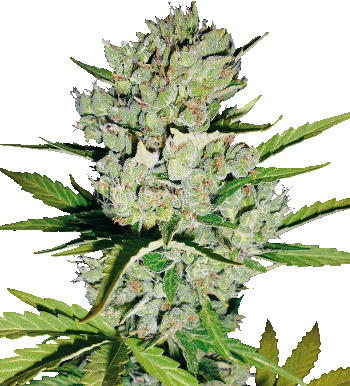 super skunk autoflowering seeds